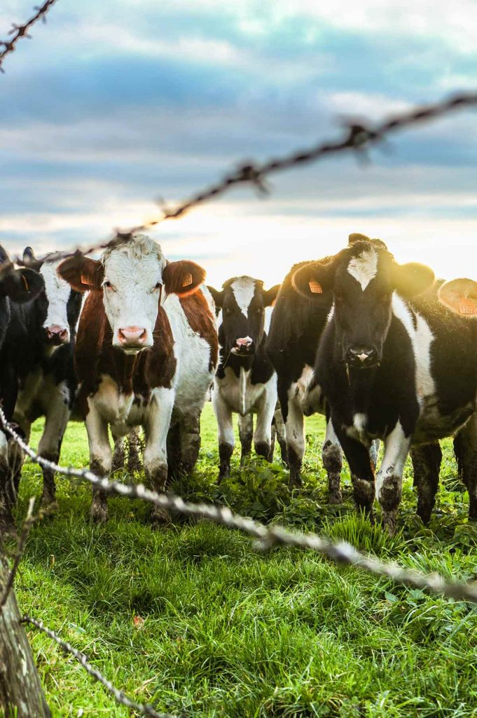 vacas en pasto